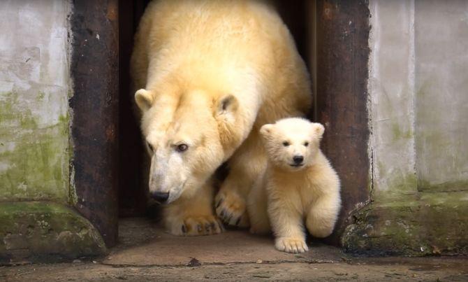 Jääkarupoeg käis esimest korda õues