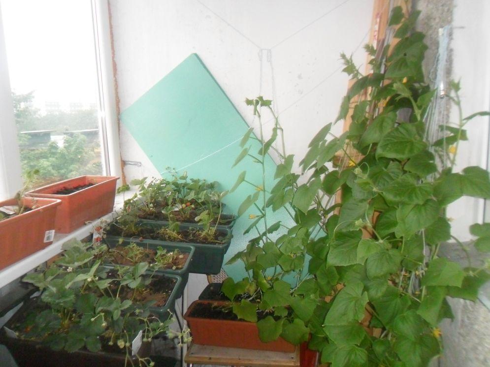 Для выращивания на балконе 15