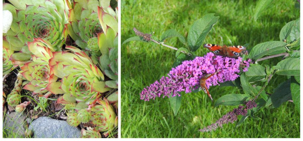 Hobiaednik: taimed, mis armastavad päikest ja taluvad kuuma