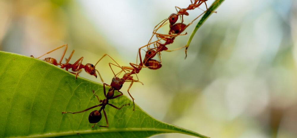 Sipelgad ei ole aiapidaja vaenlased, vaid tõhusad abilised