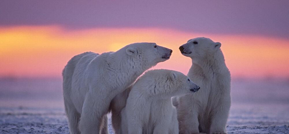 21 üllatavat FAKTI | Milliseid saladusi peidab endas jääkaru, maailma üks väärikaim kiskja?