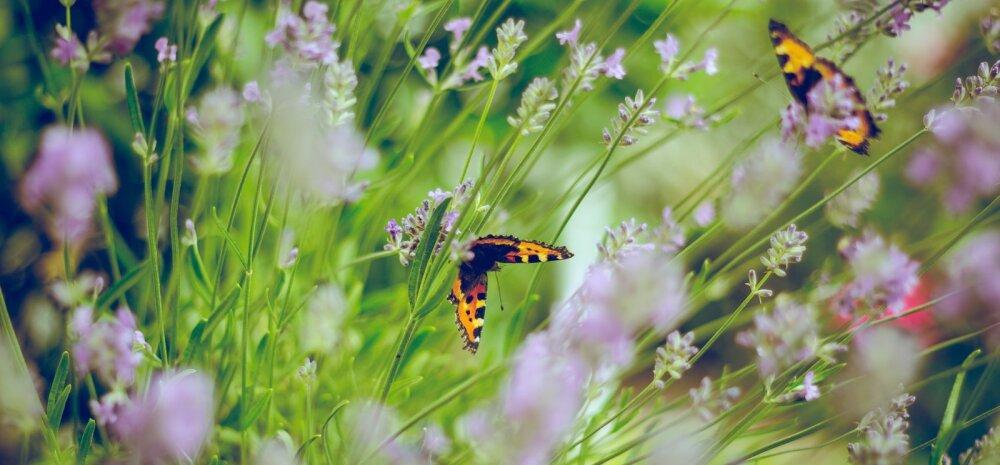 Kuidas oma aiast tõeline liblikamagnet kujundada?