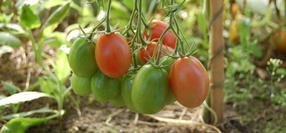 НА ЗАМЕТКУ │ Секреты выращивания помидоров