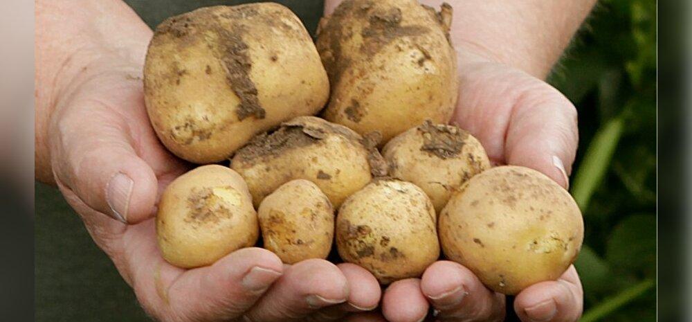 Tuletame meelde: roheliseks läinud kartulid on mürgised ja neid ei tohi süüa!