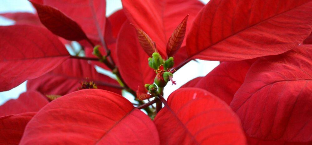 Jõulutähe eest õigesti hoolt kandes jätkub ilu kauaks