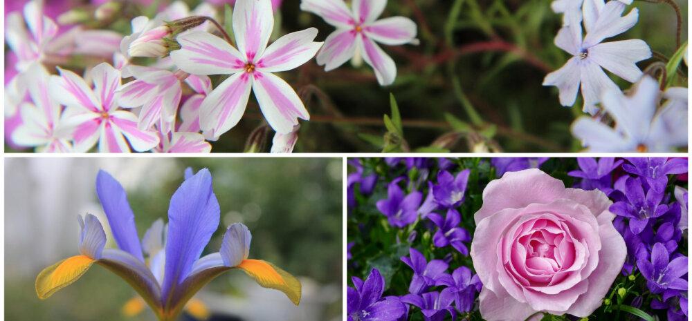 Спутник розы в саду: лучшие цветы-компаньоны