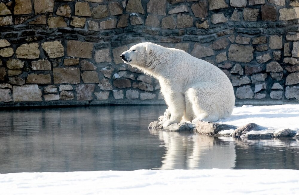 Jääkarud loomaias