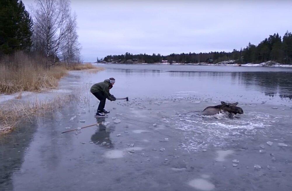 VIDEO: Uisutajad aitavad põdra jääaugust välja