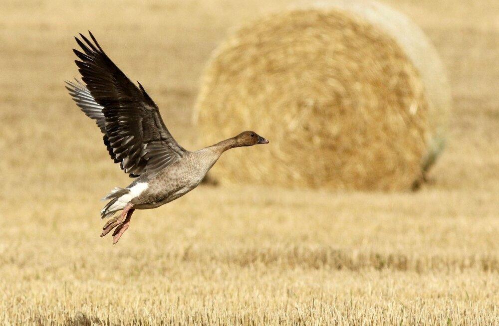 Norra teadlaste uuring annab aimu kevadiste haneparvede kahjust põldudele