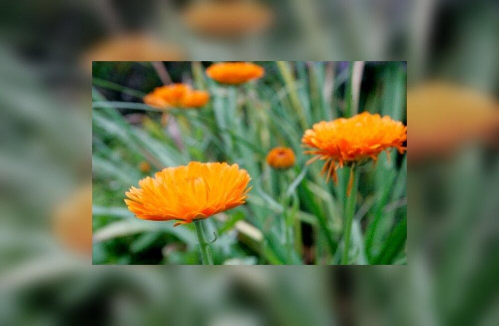 Sääsekuplade ja muude putukahammustuste tohterdamiseks