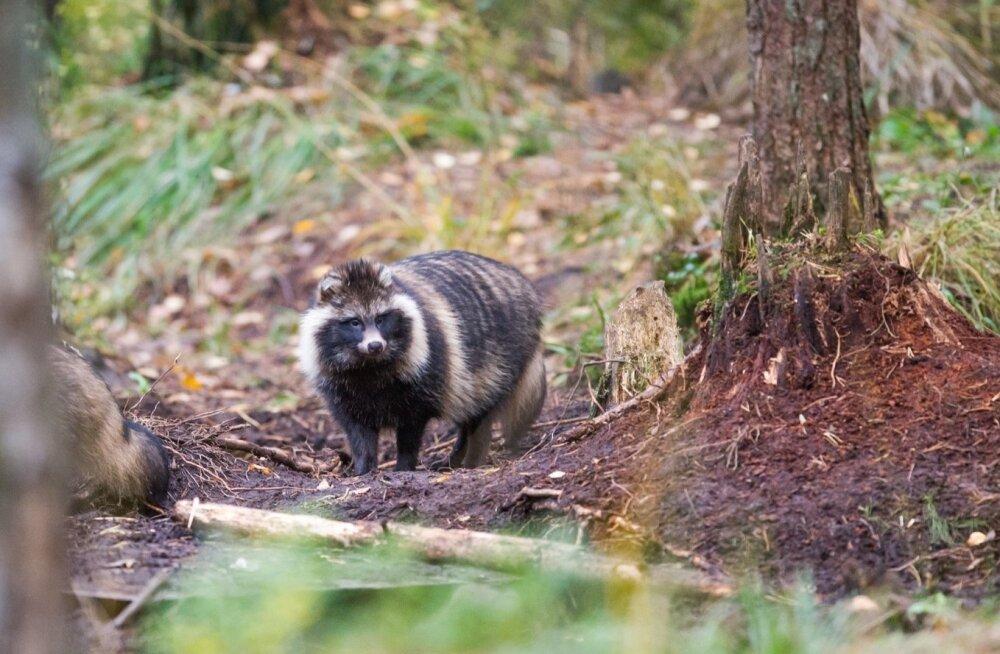 Korjustega maiustavate kährikute ja rebaste toiduküllus on ajutine, sest katkukolletes on metssea arvukus kiiresti kahanenud.