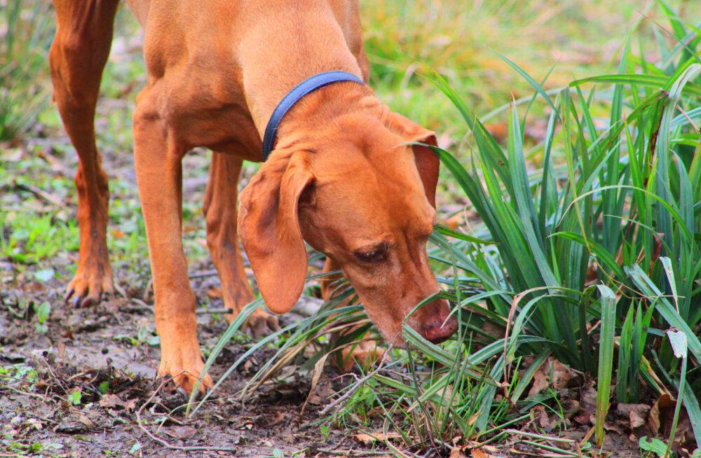 Kui kaugelt on koer võimeline õige jälje või lõhna üles võtma?