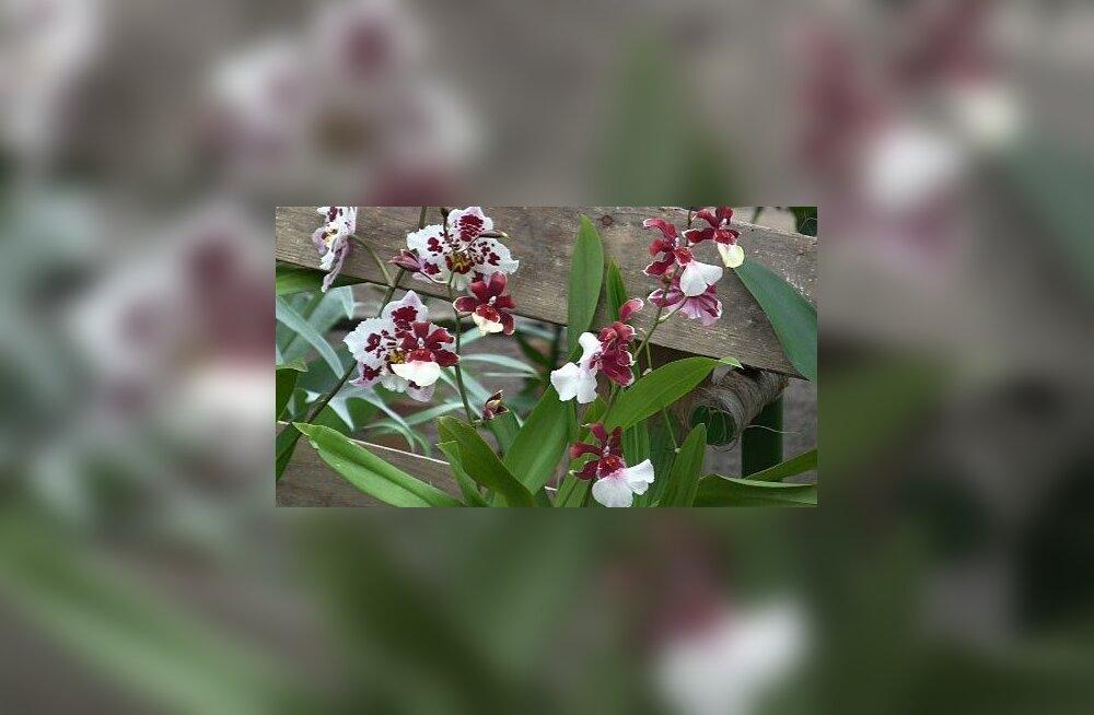 VIDEO: orhidee kevadine hooldamine