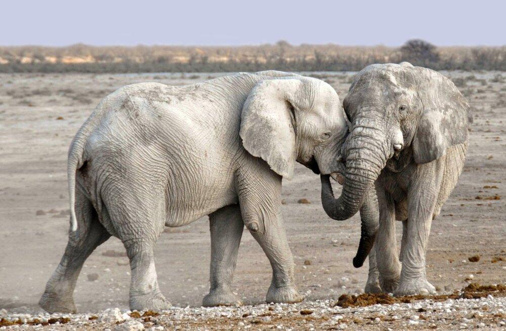 Elevantide sugupuu on arvatust oluliselt keerulisem, avastati täiesti uus elevandiliik