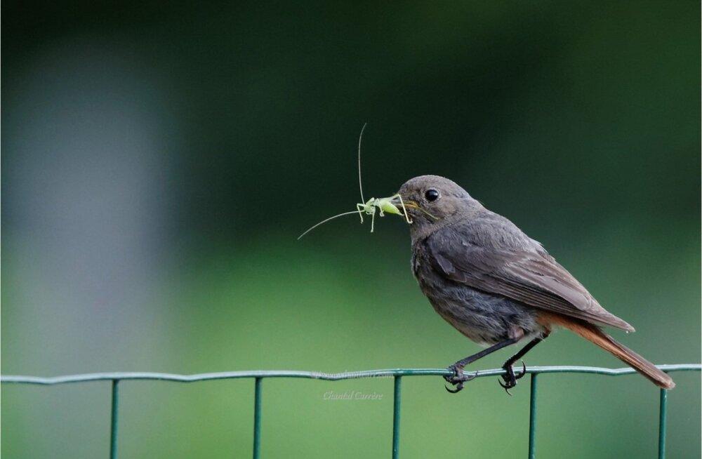 Lindude pideval sabaga vehkimisel on märksa sügavam mõte, kui võiks arvata
