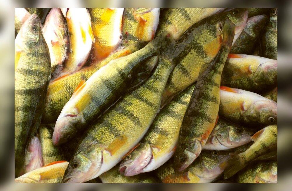 Talvine kalapüük kogub hoogu: ahvenad jääaugust