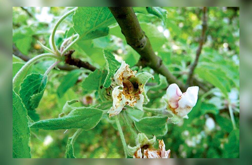 Kurjam õunapuu õite kallal