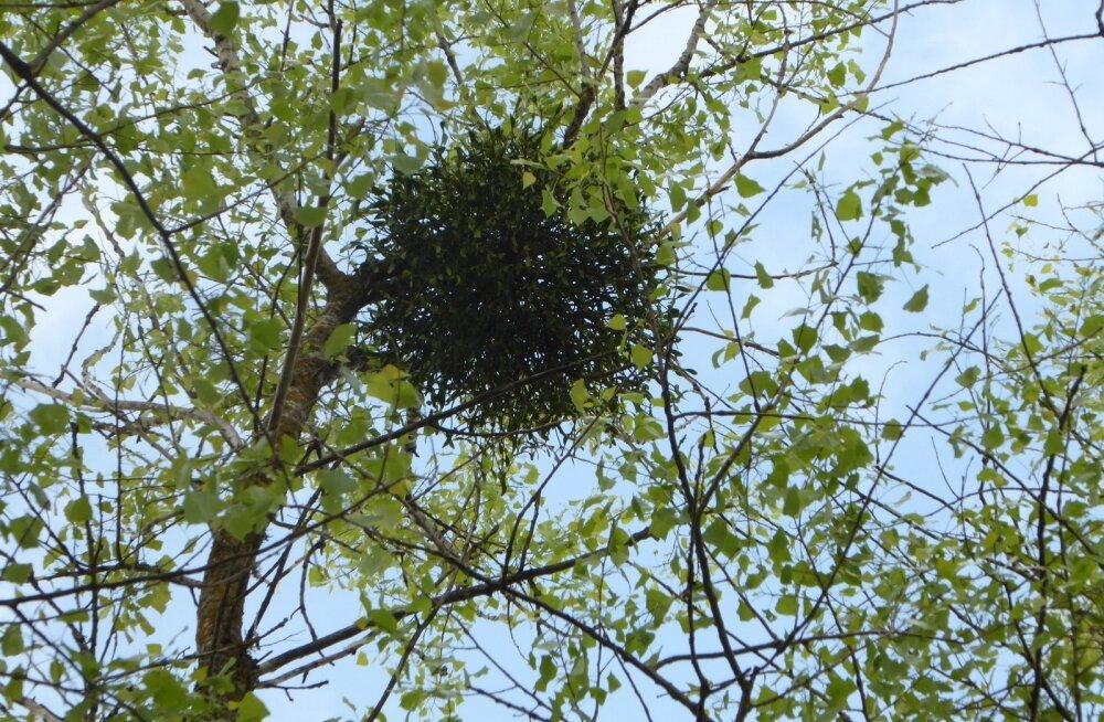 Kevadel Luunja vallas Põvvatul leitud puuvõõrik.