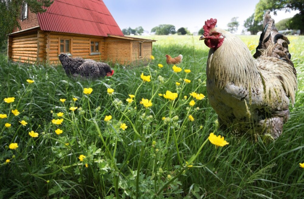 Lindude kasvatamisel on suund vabapidamise poole.