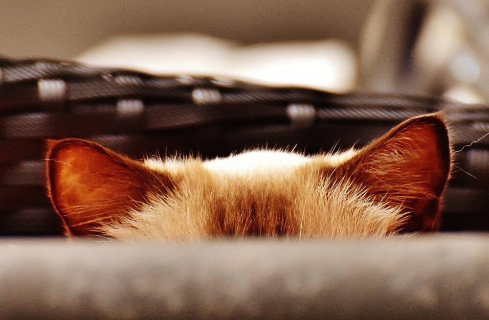 Pane end proovile | Kas sa leiad piltidele peitu pugenud kassi?