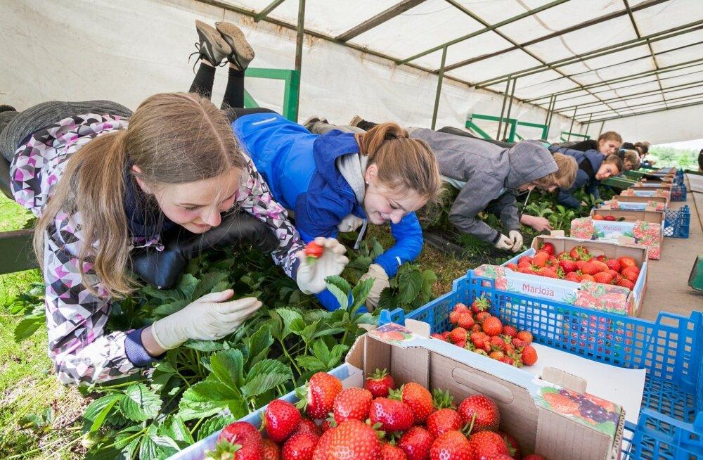 Õpilasmalevlased on suviti tööd saanud ka maasikakombainil.