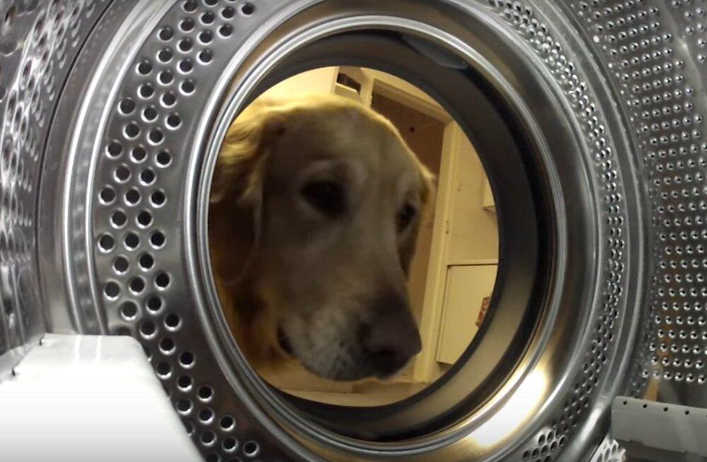 Armas VIDEO: Murest murtud koer tormas pesumasinast oma hinnalist kaisukaru päästma