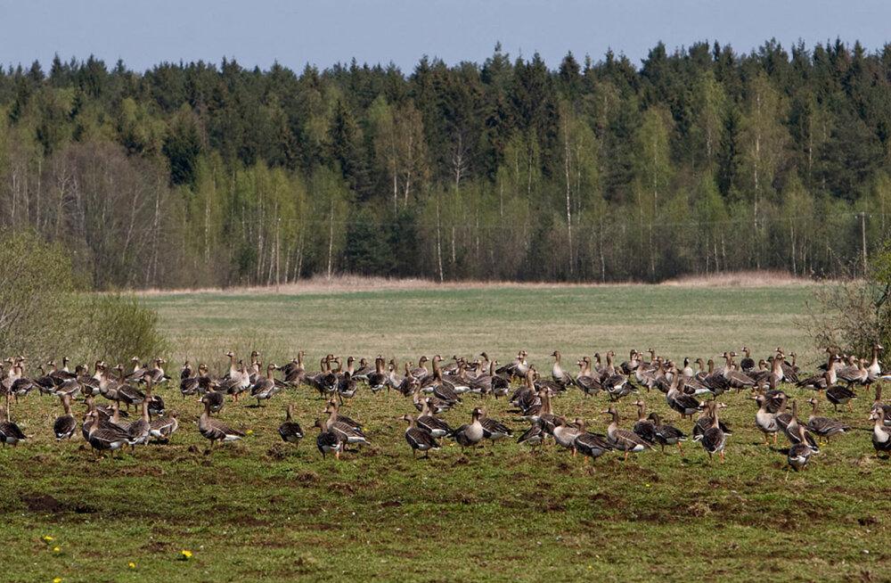 Metsaomanikud, põllumehed ja jahimehed: emotsionaalne linnujahi petitsioon eksitas avalikkust