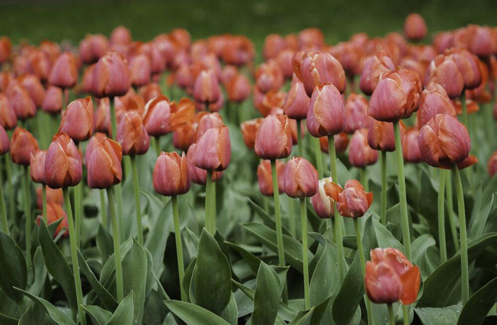 Цветущие тюльпаны, нарциссы и ярмарка дизайна в ботаническом саду