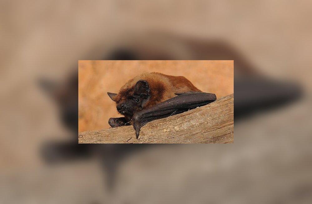 FOTOD: Keila Jõepark on koduks suurimale Eestis elavale nahkhiireliigile