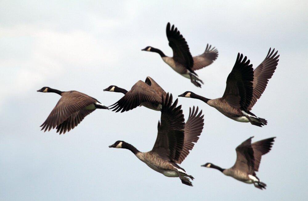 Eesti Ornitoloogiaühing: piiranguteta veelinnujaht jätkub ka tänavu