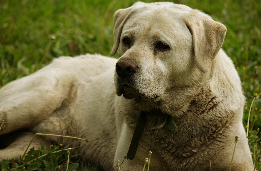Sage mure: kas sinu koera hingeõhk haiseb või lõhnab ta nagu koer? Mida teha?