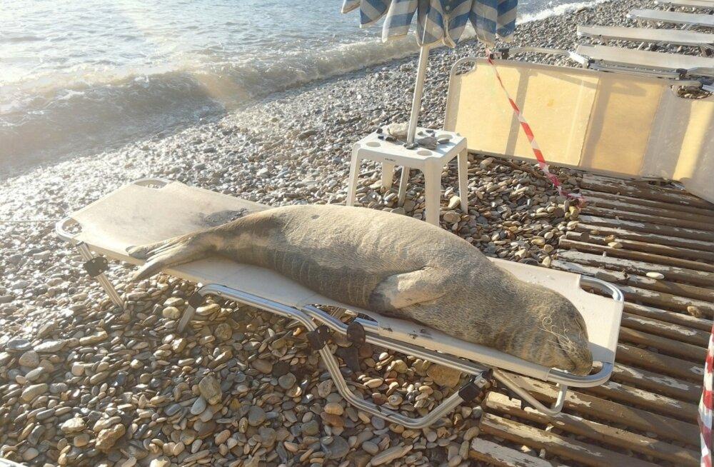 Vahemere munkhüljes Argiro eelistab rannalõviks olemist tavalisele hülgeelule.