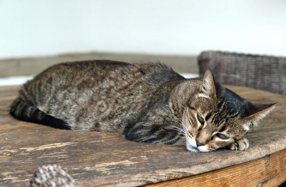 Sageli on ainus märk kassi haigusest tema kehv tuju ja kössis olek.