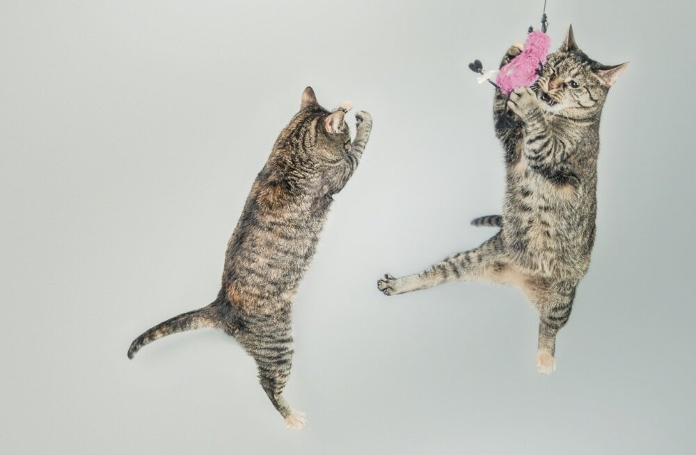 Kuidas kassid alati käppadele maanduvad, kas kukkumine võib neile ka saatuslikuks saada?