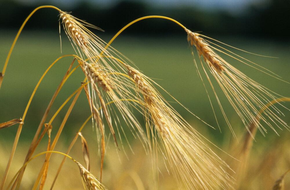 Toitumisspetsialist: toiduaine, mida eestlased on sadu aastaid söönud, pikendab ühtlasi meie eluiga