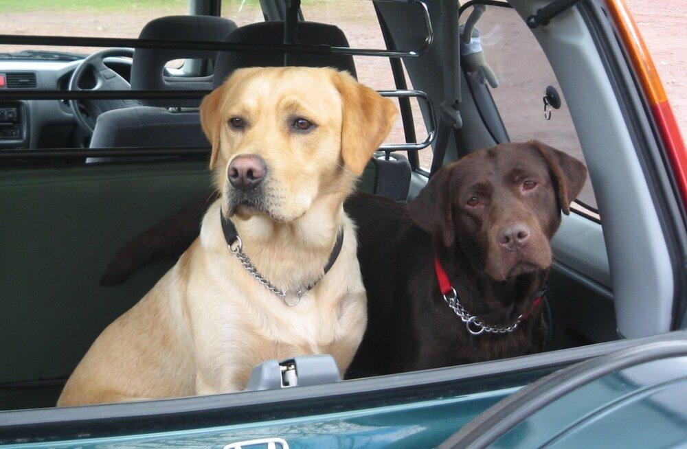 LOOMAPIDAMINE NORRA MOODI | Narkolembene mees jättis koerad lukustatud autosse pakase pureda