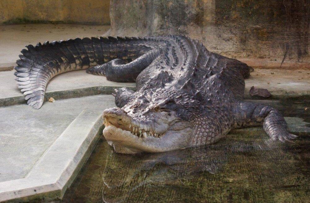 Veskimetsas elab seniajani krokodill Vanamees, kelle kodu oli ka Kadriorus.