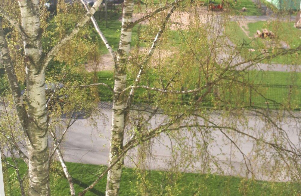 """""""Помогите сохранить жизнь дереву"""". Председатель КТ хочет срубить растущую у дома березу: законно ли это?"""