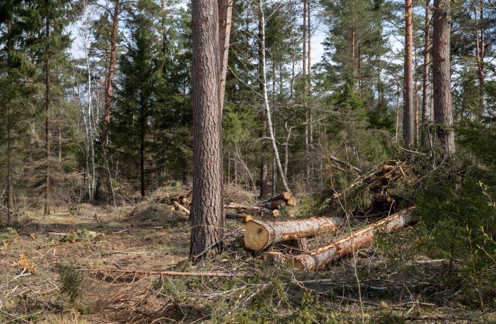 Loometsas ei tohi lageraielank olla suurem kui kaks hektarit. Kui aga käsil on aegjärkne raie, nagu on näha siinselt pildilt, võib lank olla kuni 10 hektarit.
