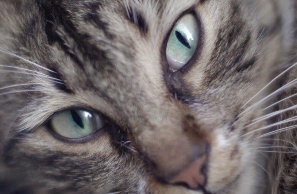 """ARVUSTUS   """"Kedi"""" - kassisõpradele kohustuslik dokumentaalfilm"""