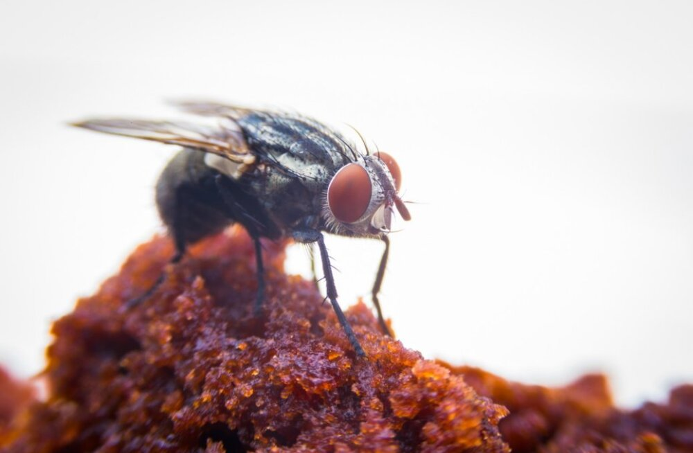 Toakärbsed levitavad toiduainete kaudu haigusi.