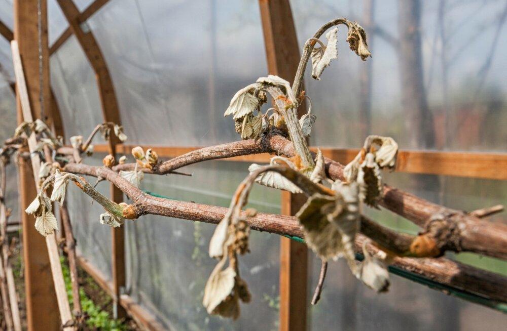 Mida teha, et taimed ei saaks külmakahjustusi