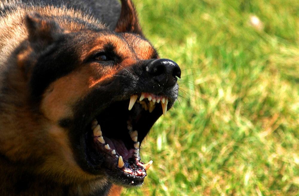 KOERTE HIRMUVALITSUS JÄTKUB | Tabasalu juures ründasid hulkuvad koerad lapsevankriga naist ja väikest koera