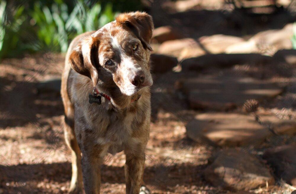 Miks koerad inimest seirates pea ühele küljele kallutavad?