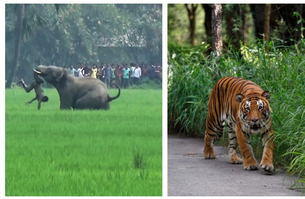 Vastasseis muutub aina pingelisemaks: elevandid ja tiigrid tapavad Indias juba ühe inimese päevas
