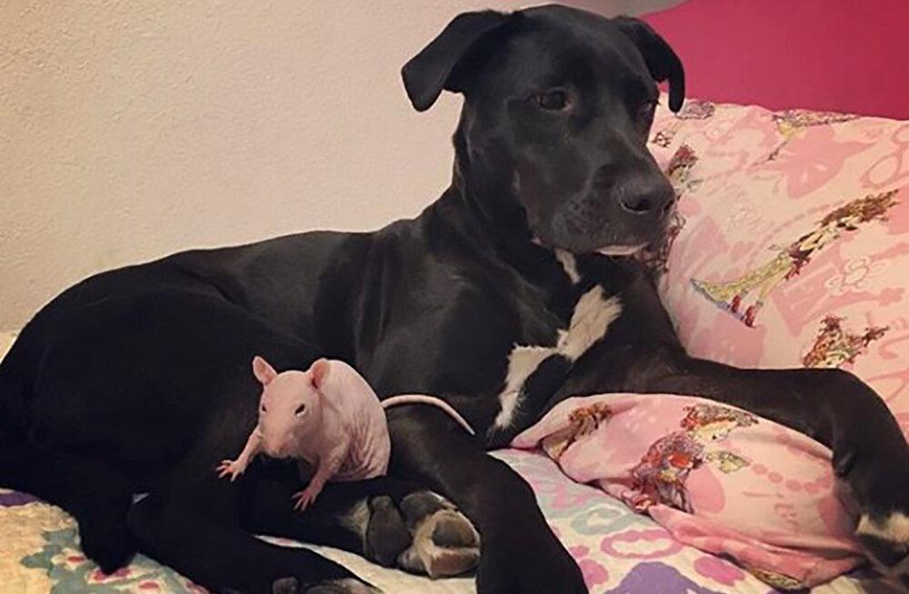 VANKUMATU SÕPRUS | Murest murtud koer käib oma rotist sõbra haual leinamas