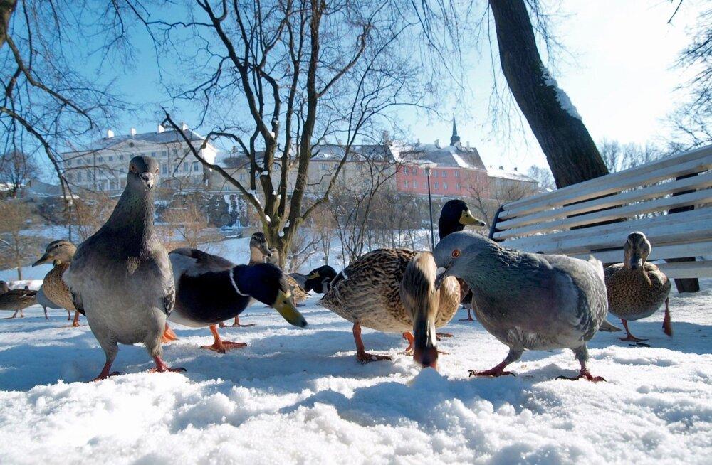 Ilmatarkade kevade-ennustuse kohaselt peavad linnud veel mõnda aega lumel patseerima, sest tänavune kevad tuleb hiilimisi ja aeglaselt.