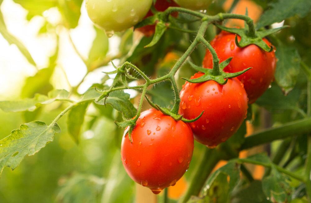 Kuidas ja millal eemaldada tomatil külgvõrseid?