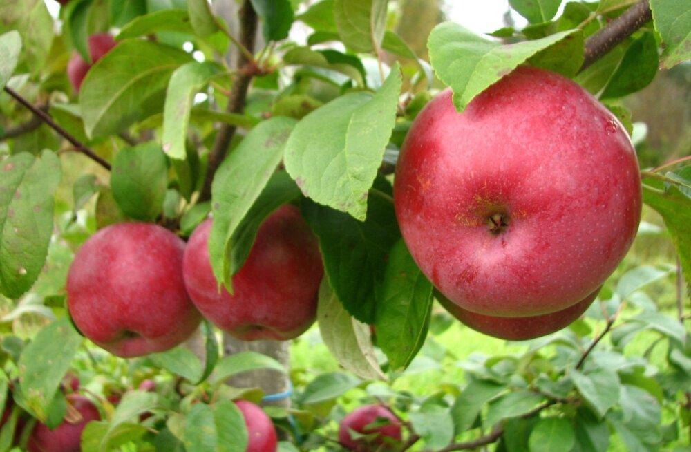 Tänu kiudainete rohkusele täidab õun hästi kõhtu, andes mõõdukalt kaloreid.