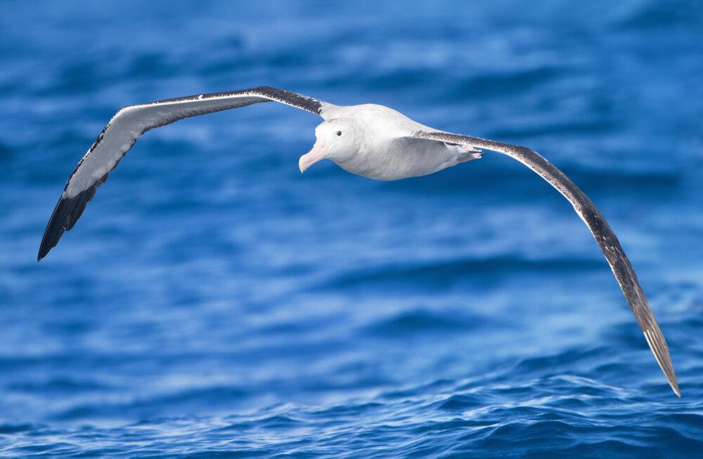 Kuidas suurte lindude tiivavärv nende lennuvõimele kaasa aitab